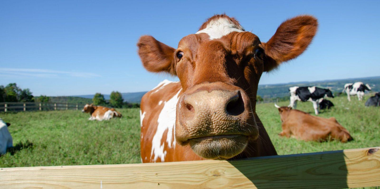 Gary steer at Farm Sanctuary.
