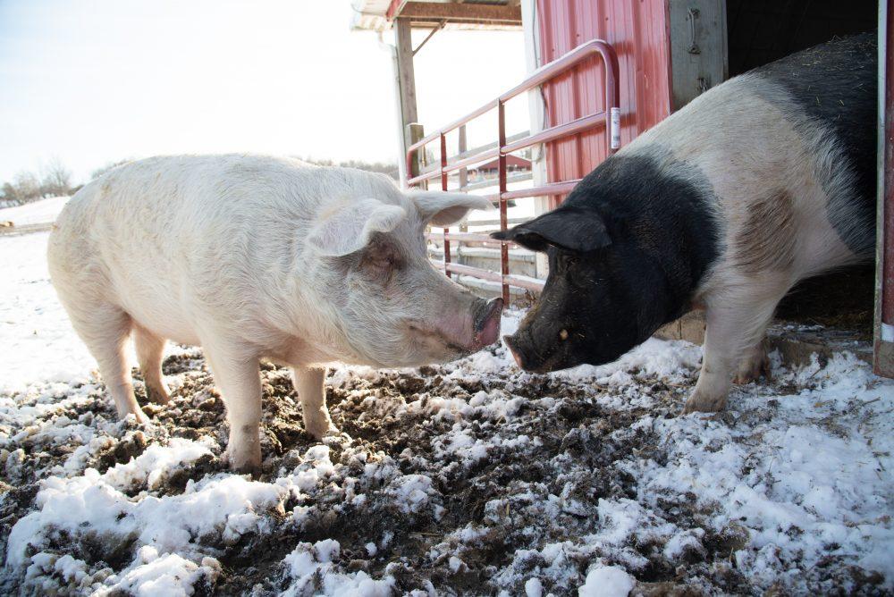 Jane and Sebastian pigs at Farm Sanctuary