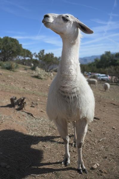 Yoda Llama at Farm Sanctuary