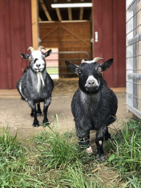 Nana and Wednesday at Farm Sanctuary