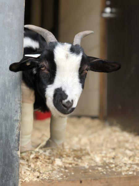 Peeking around the corner at Farm Sanctuary