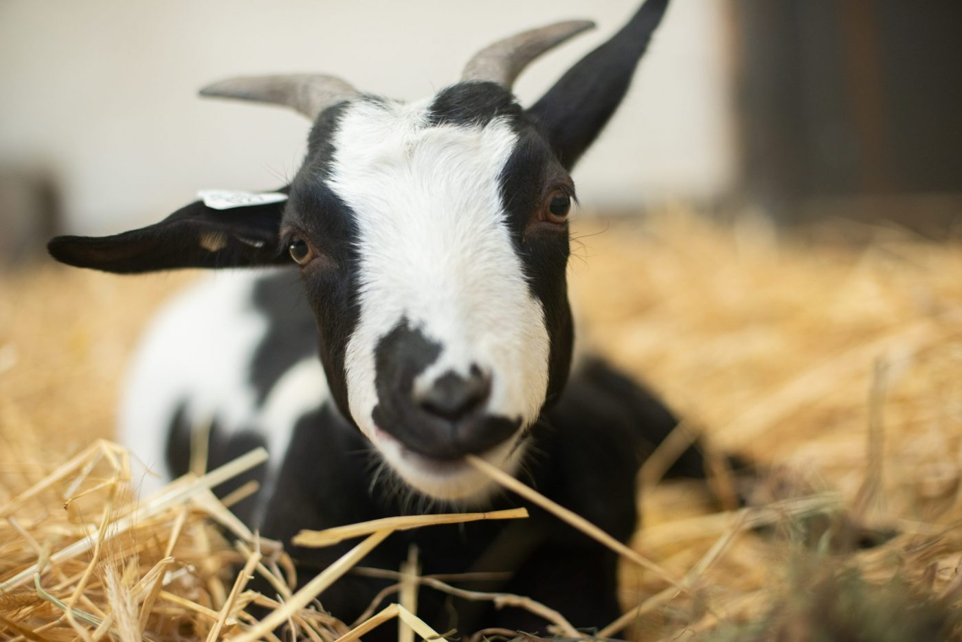 Wednesday goat at Farm Sanctuary