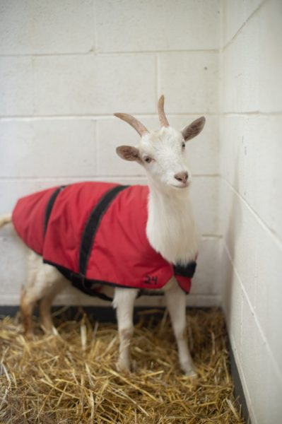Sadie in her goat coat at Farm Sanctuary