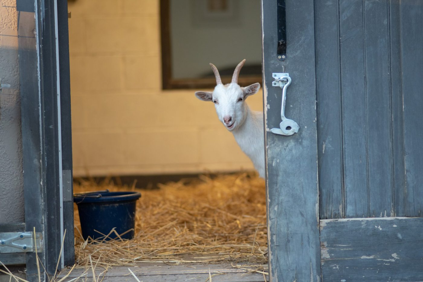 Sadie goat