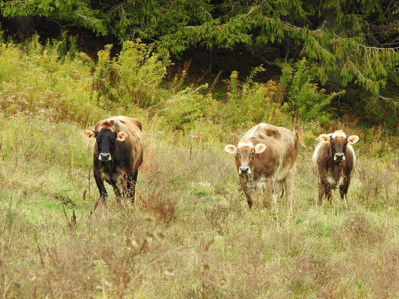 Hobart rescue, Honey, Camina, and Lux cows in a field