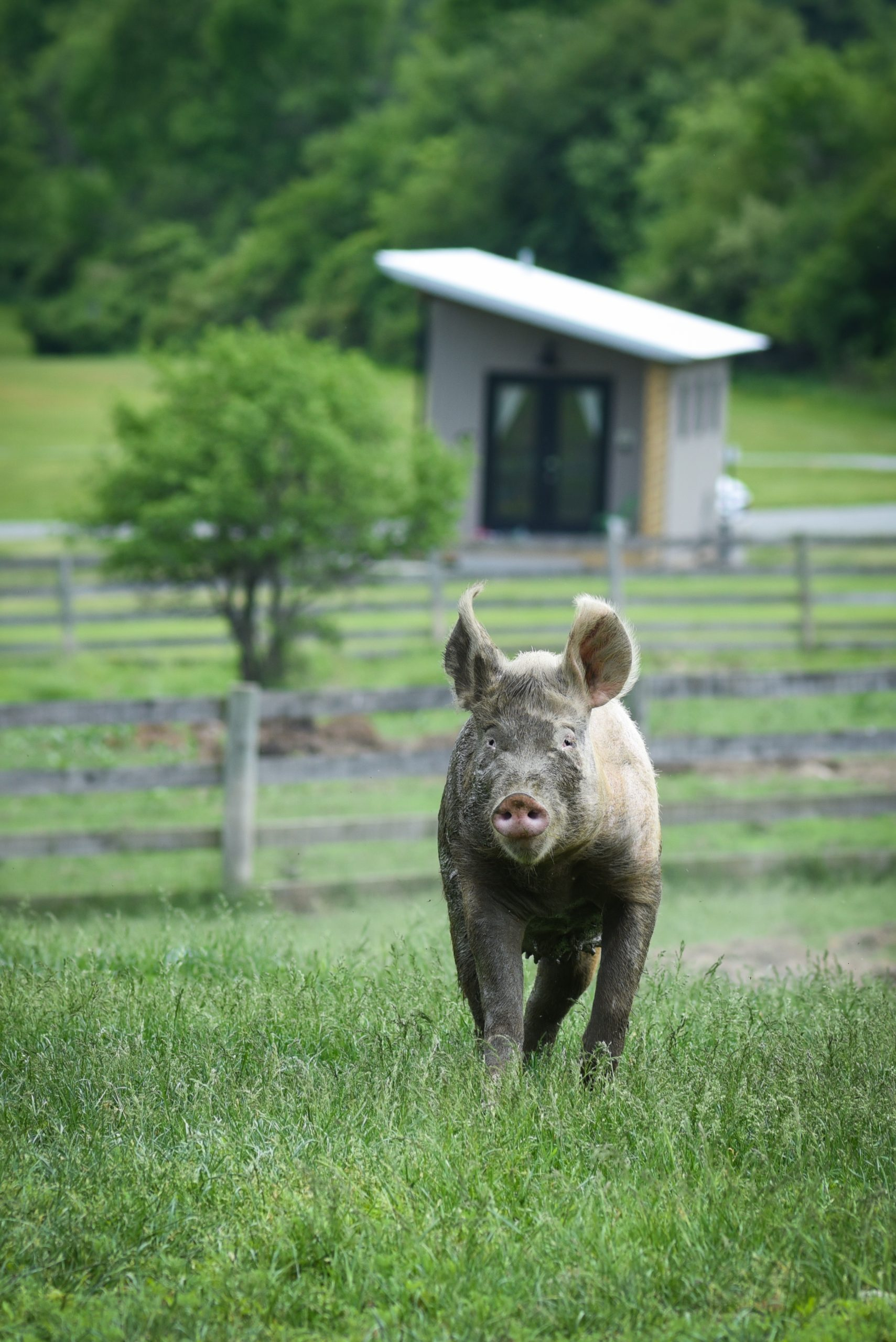 pig in front of tiny house at Farm Sanctuary