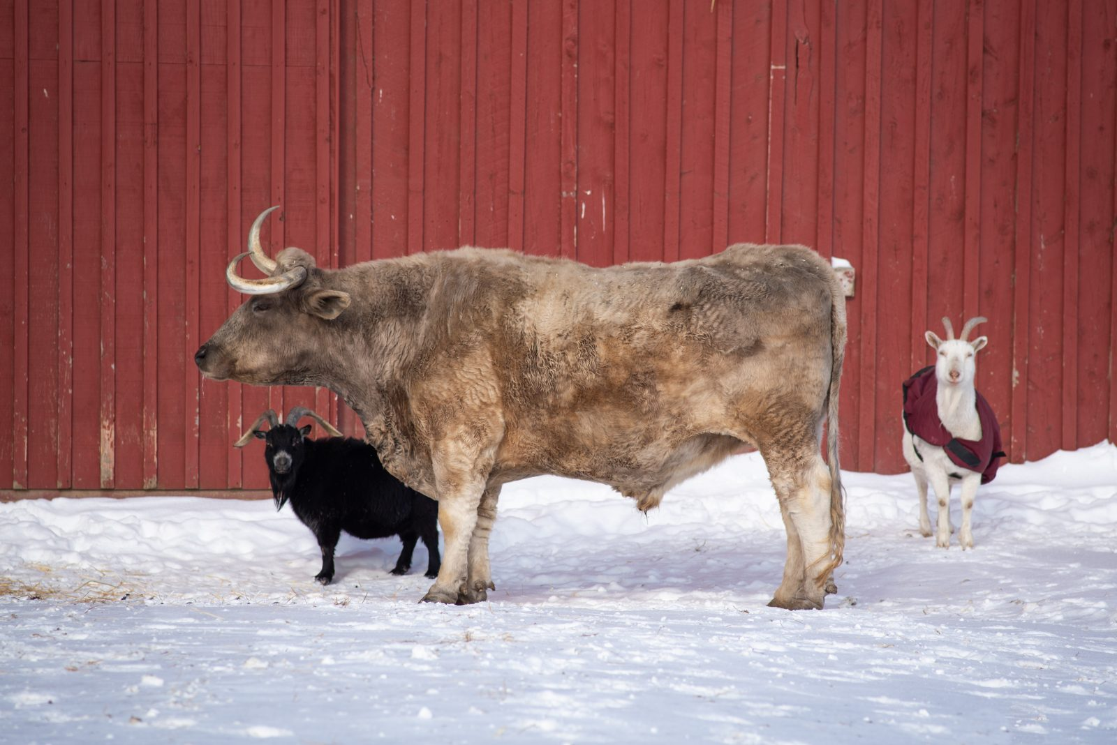 Wilson goat and Isaac steer in the snow at Farm Sanctuary