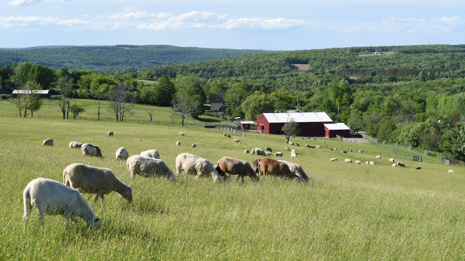 Sheep pasture landscape at Farm Sanctuary