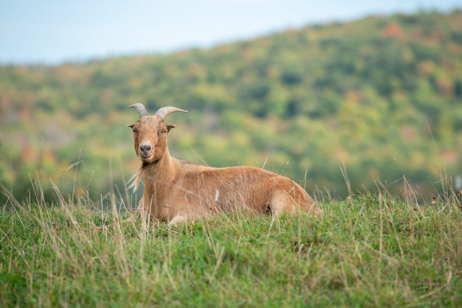 Min goat in Autumn at Farm Sanctuary