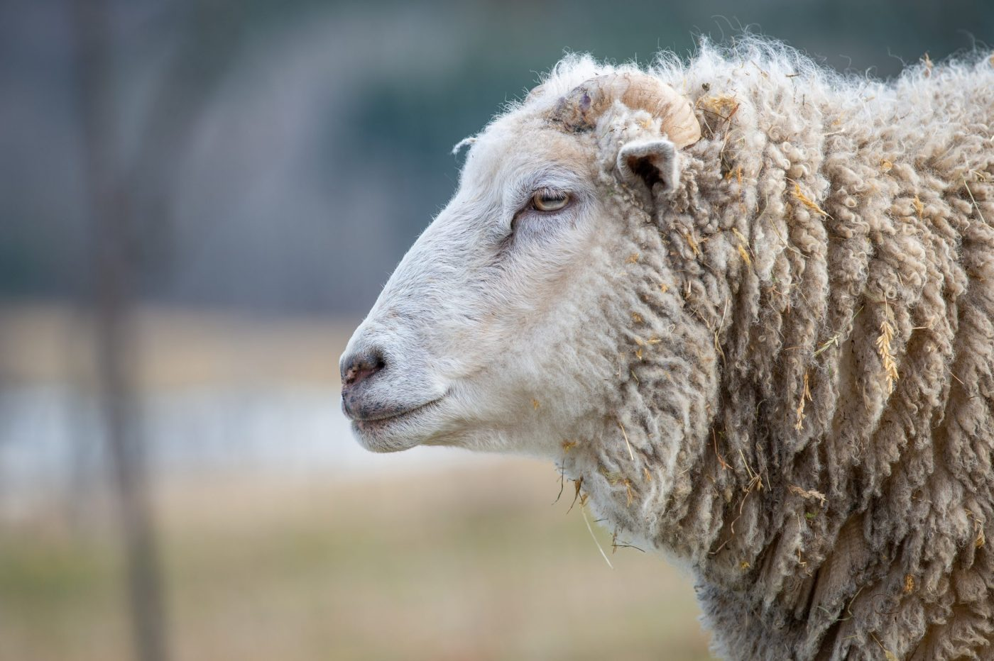 Liam sheep at Farm Sanctuary