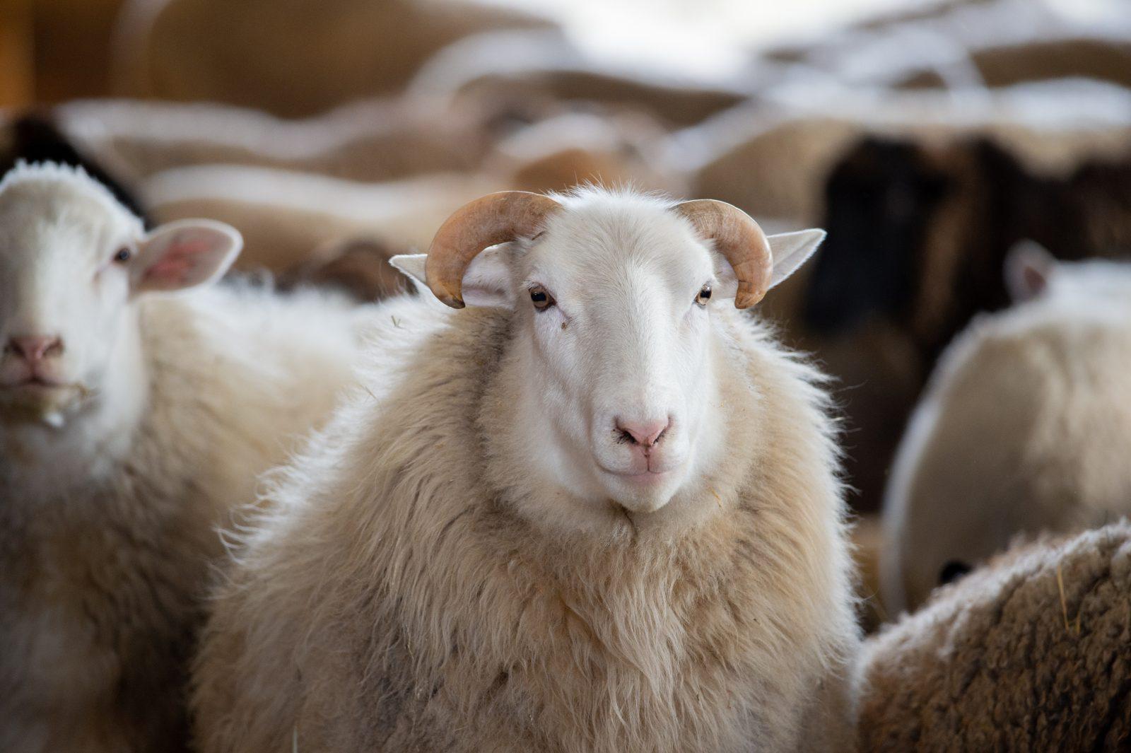 Ash sheep at Farm Sanctuary