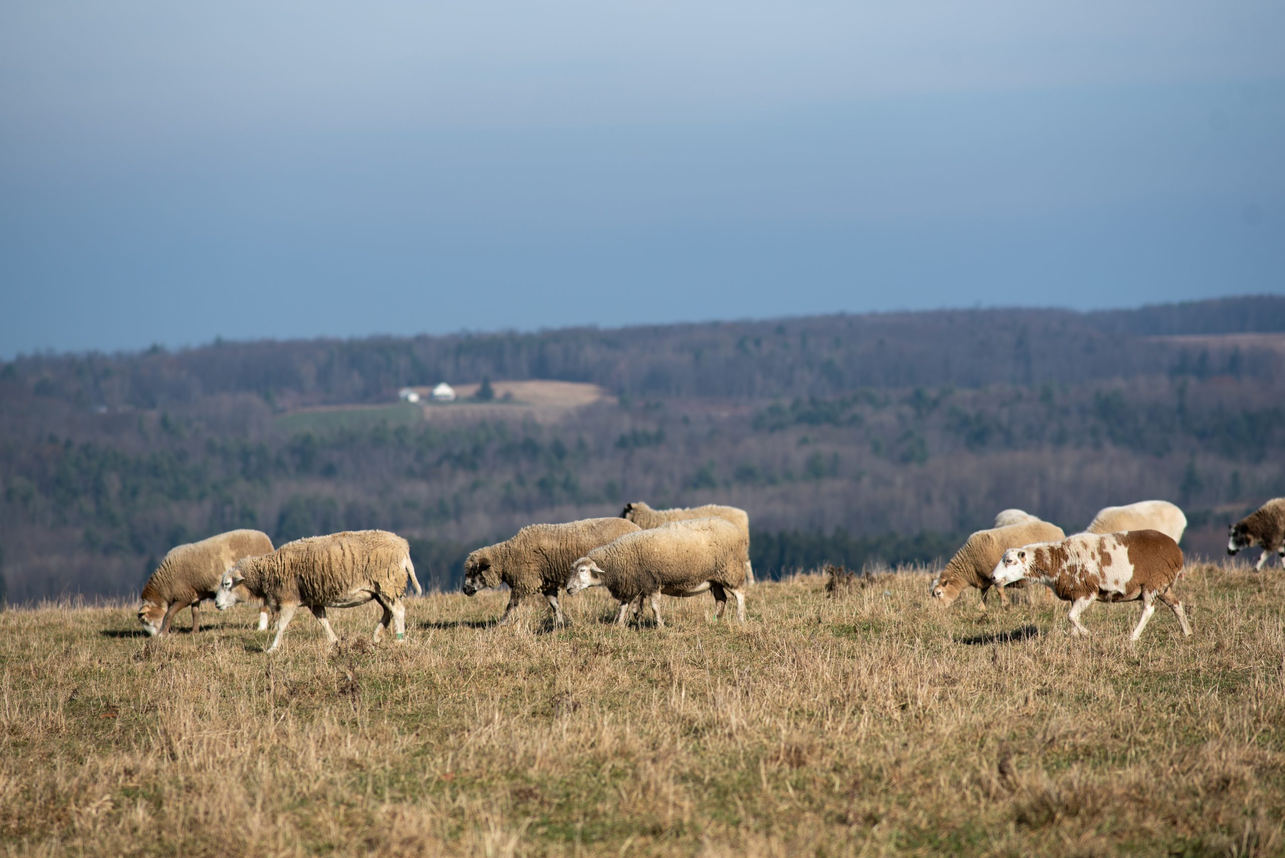 Sheep herd at Farm Sanctuary