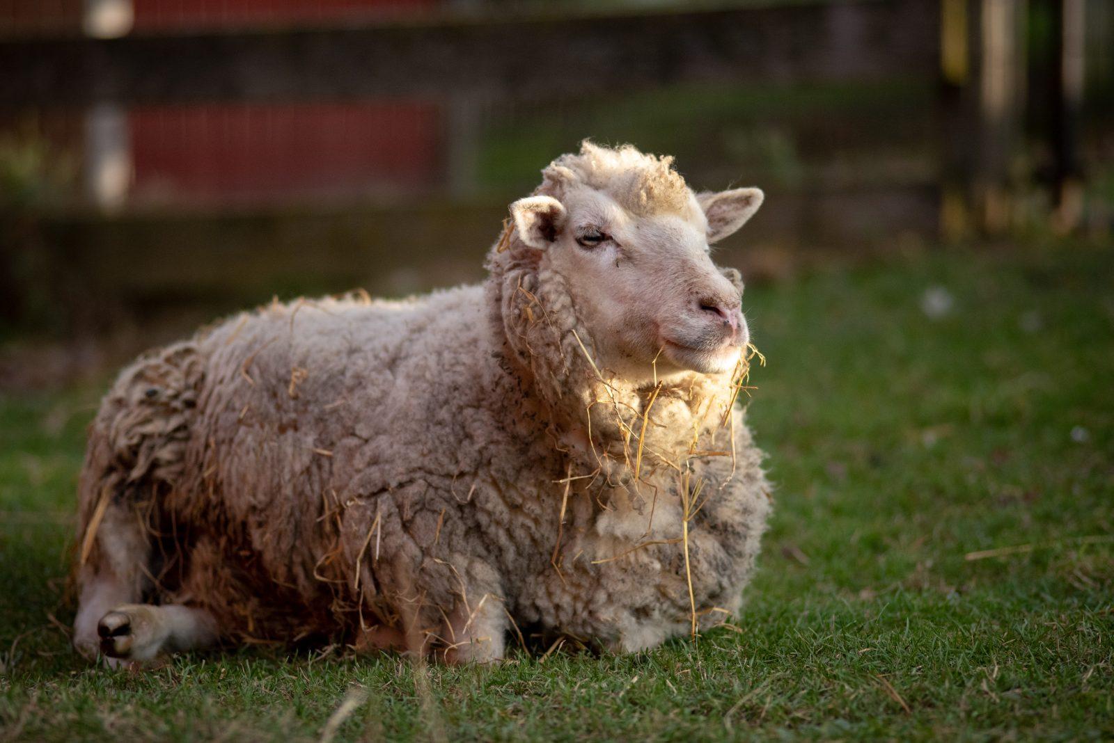 Smudge sheep at Farm Sanctuary