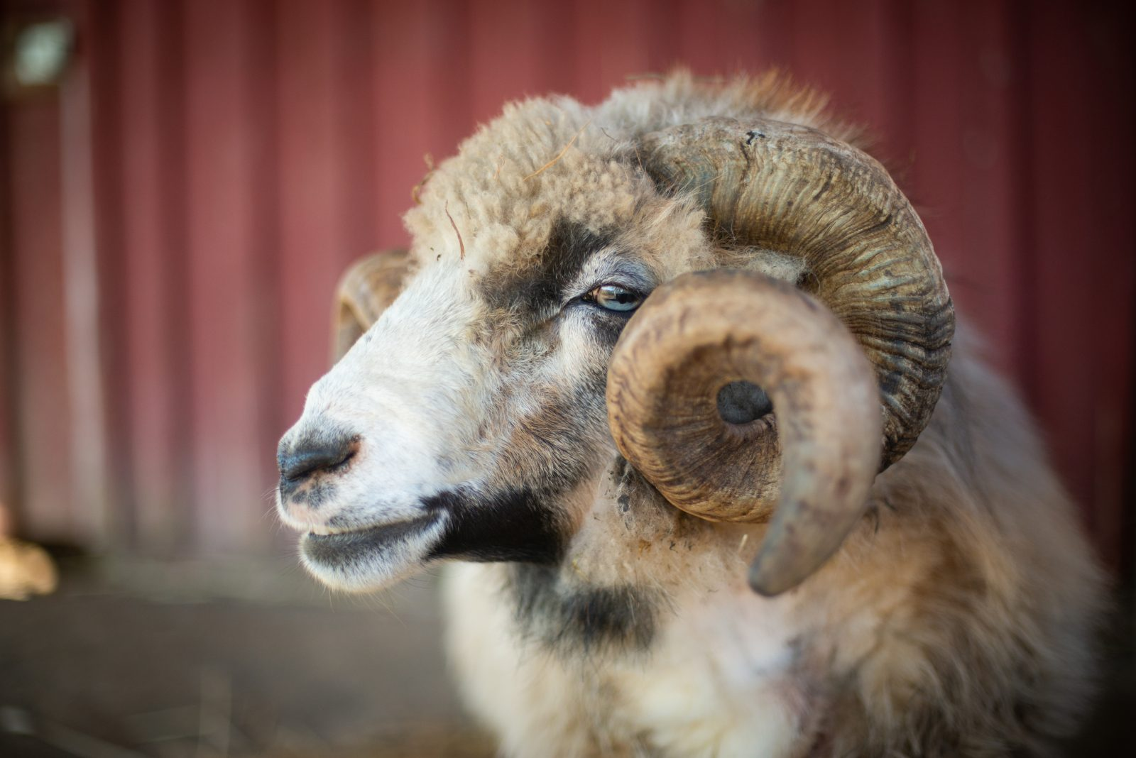 Patch sheep at Farm Sanctuary