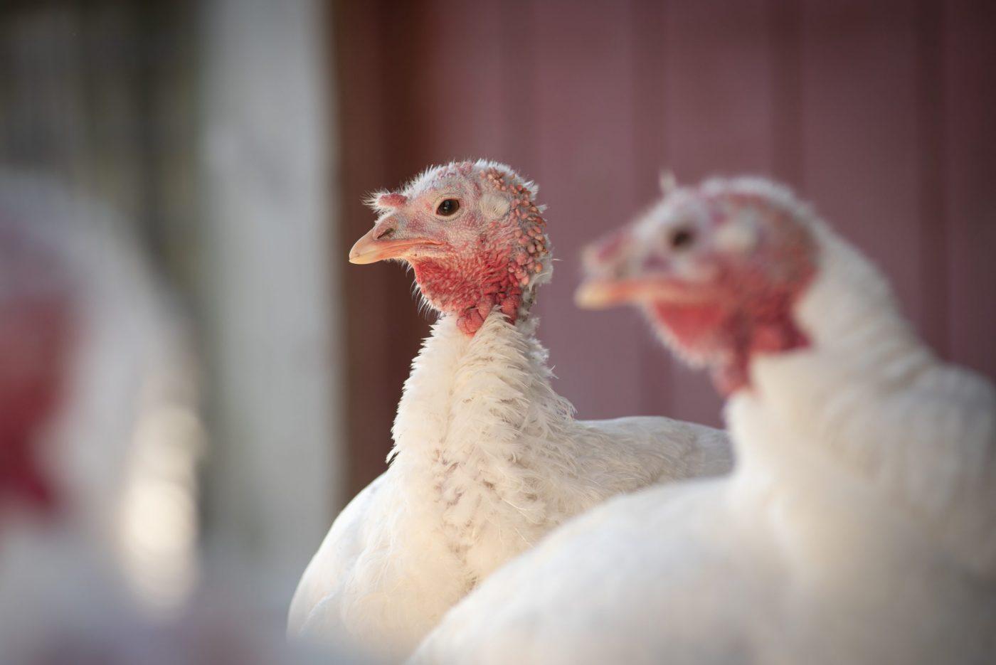 Two turkeys at Farm Sanctuary
