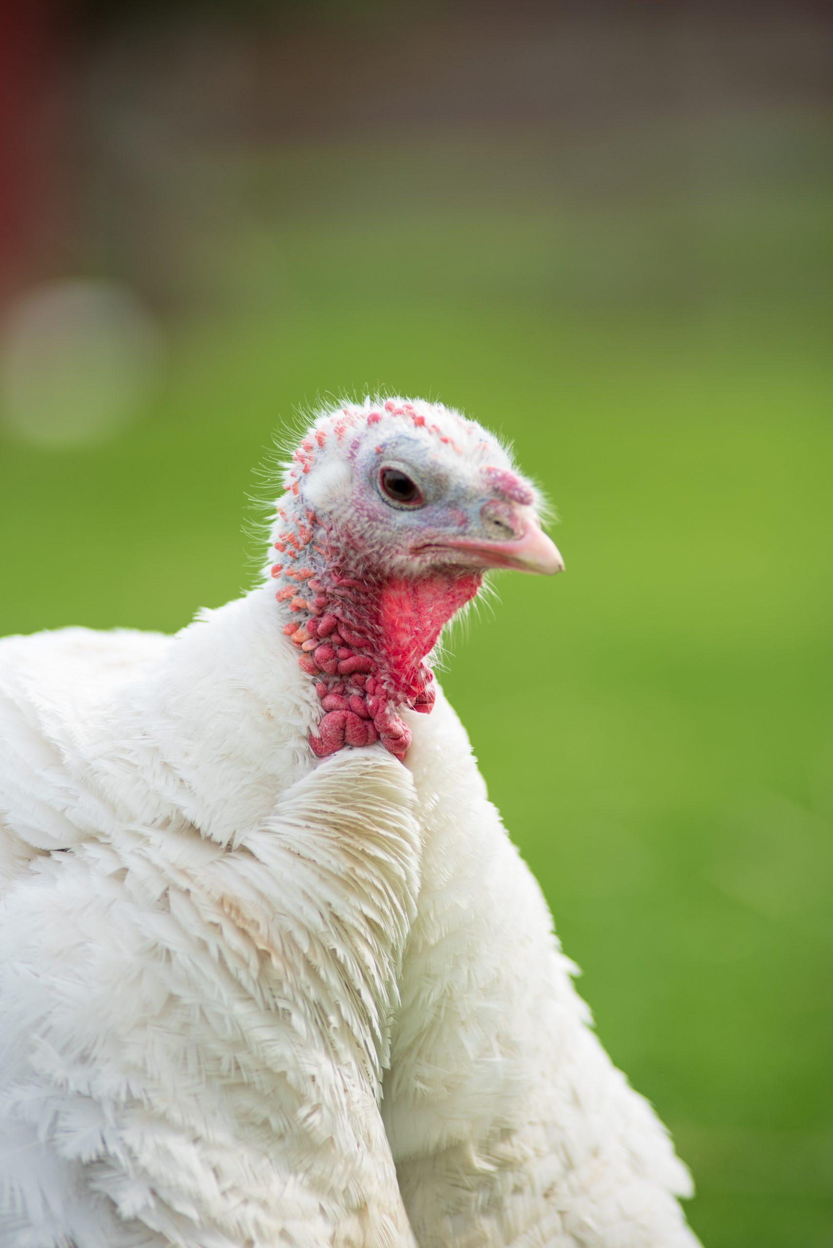 Cecelia turkey at Farm Sanctuary