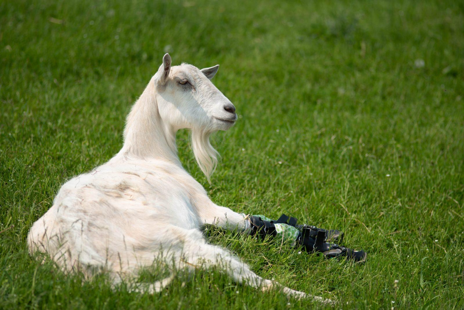Bam Bam Goat at Farm Sanctuary