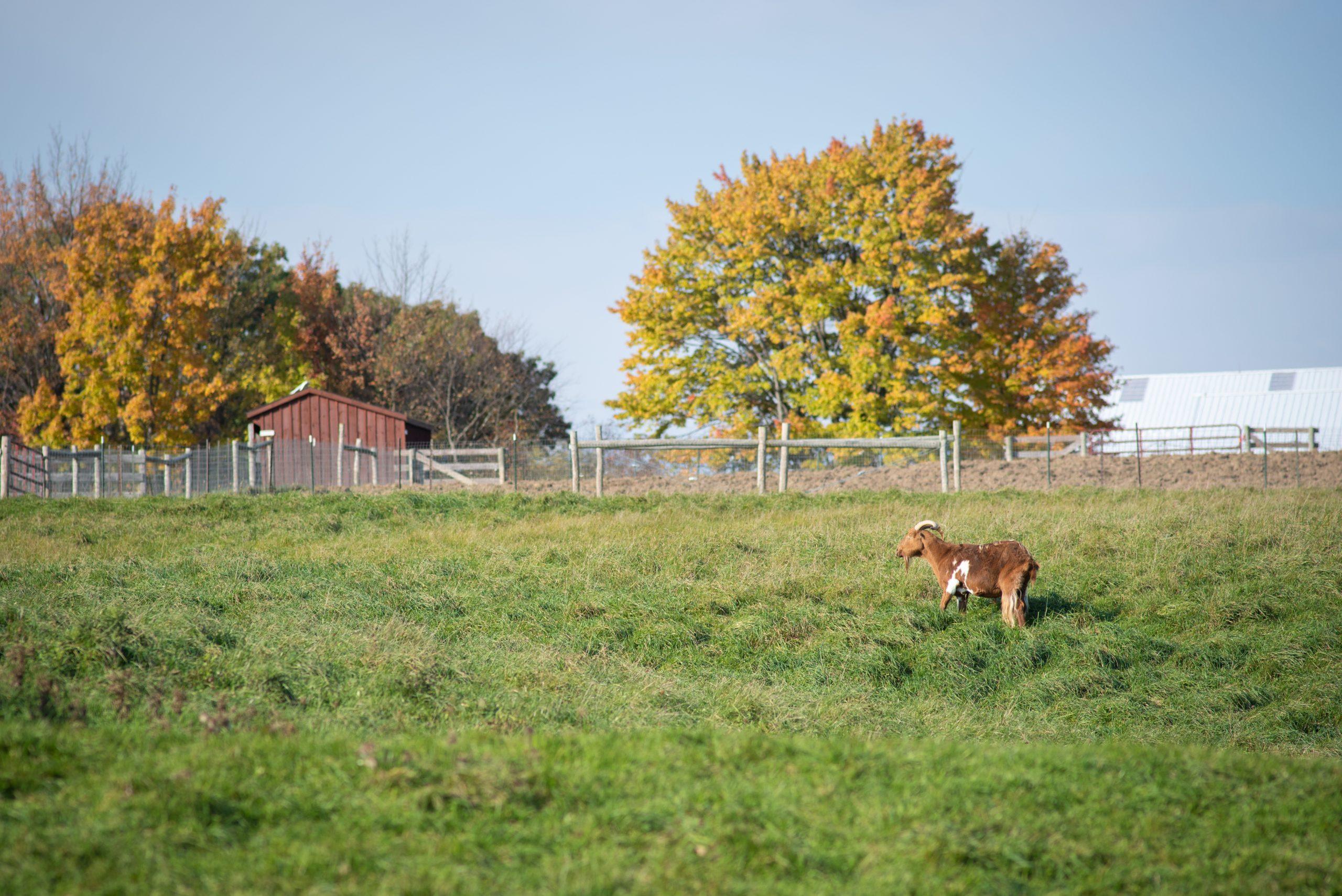 Sir Galahad goat at Farm Sanctuary