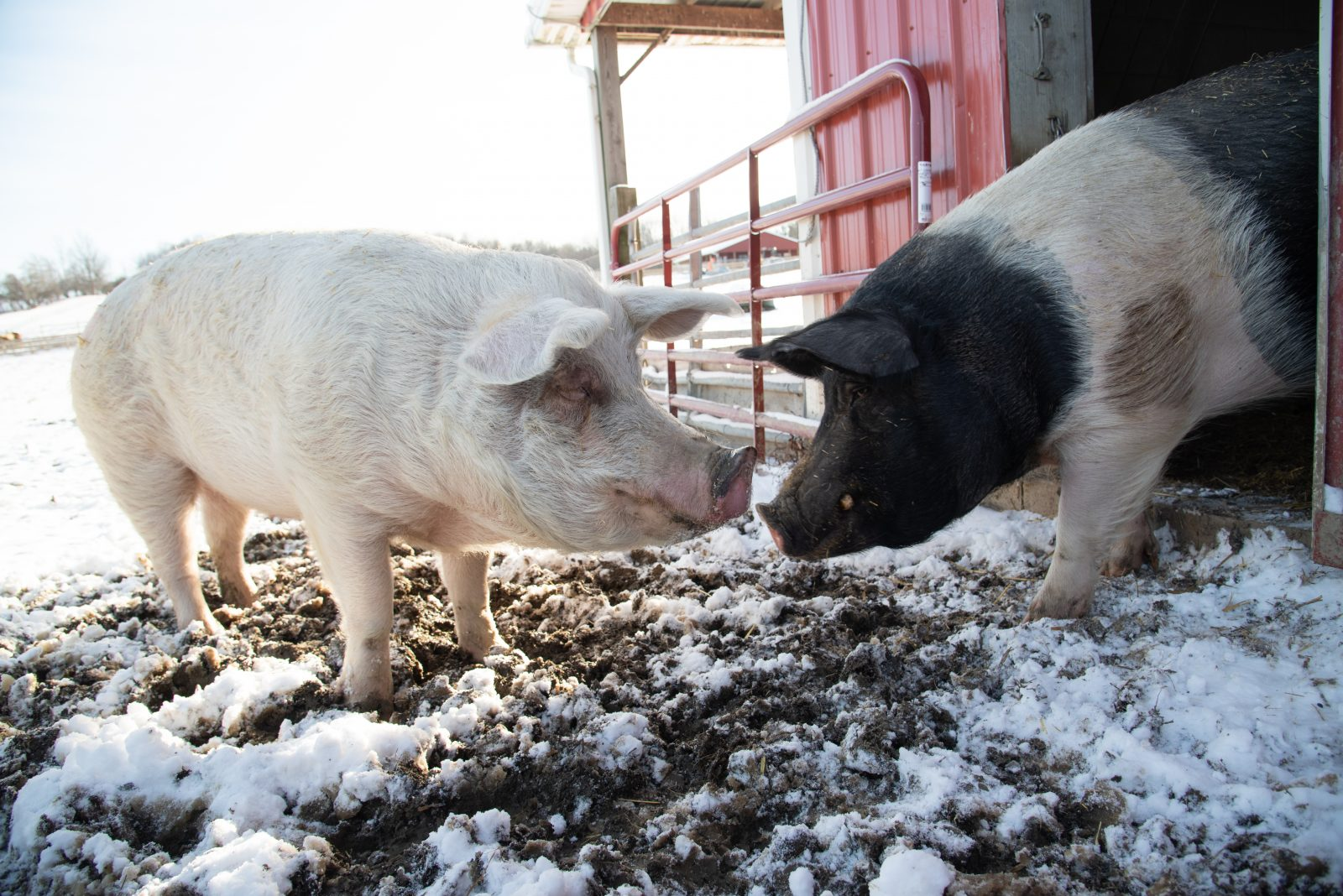 Jane and Sebastian pig at Farm Sanctuary