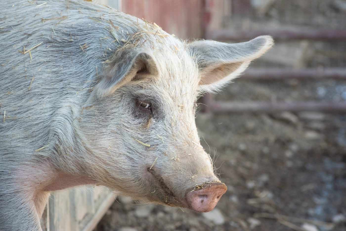 Wyatt pig at Farm Sanctuary