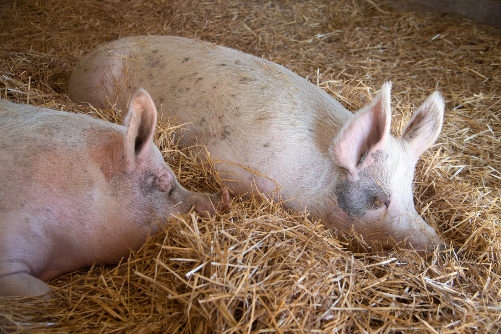 Eric and Rory pigs at Farm Sanctuary