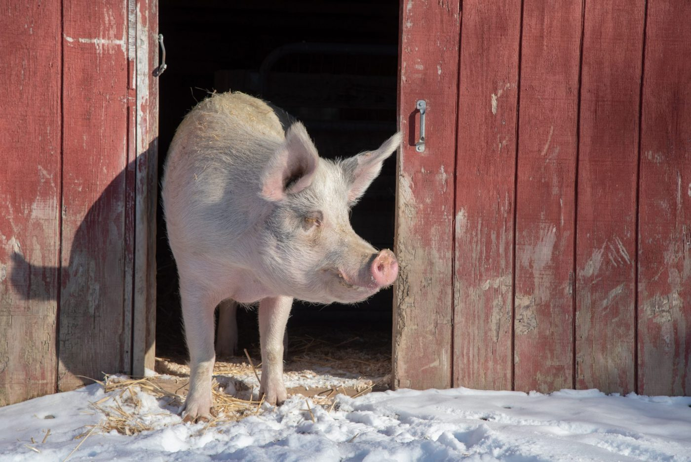 Rory pig at Farm Sanctuary