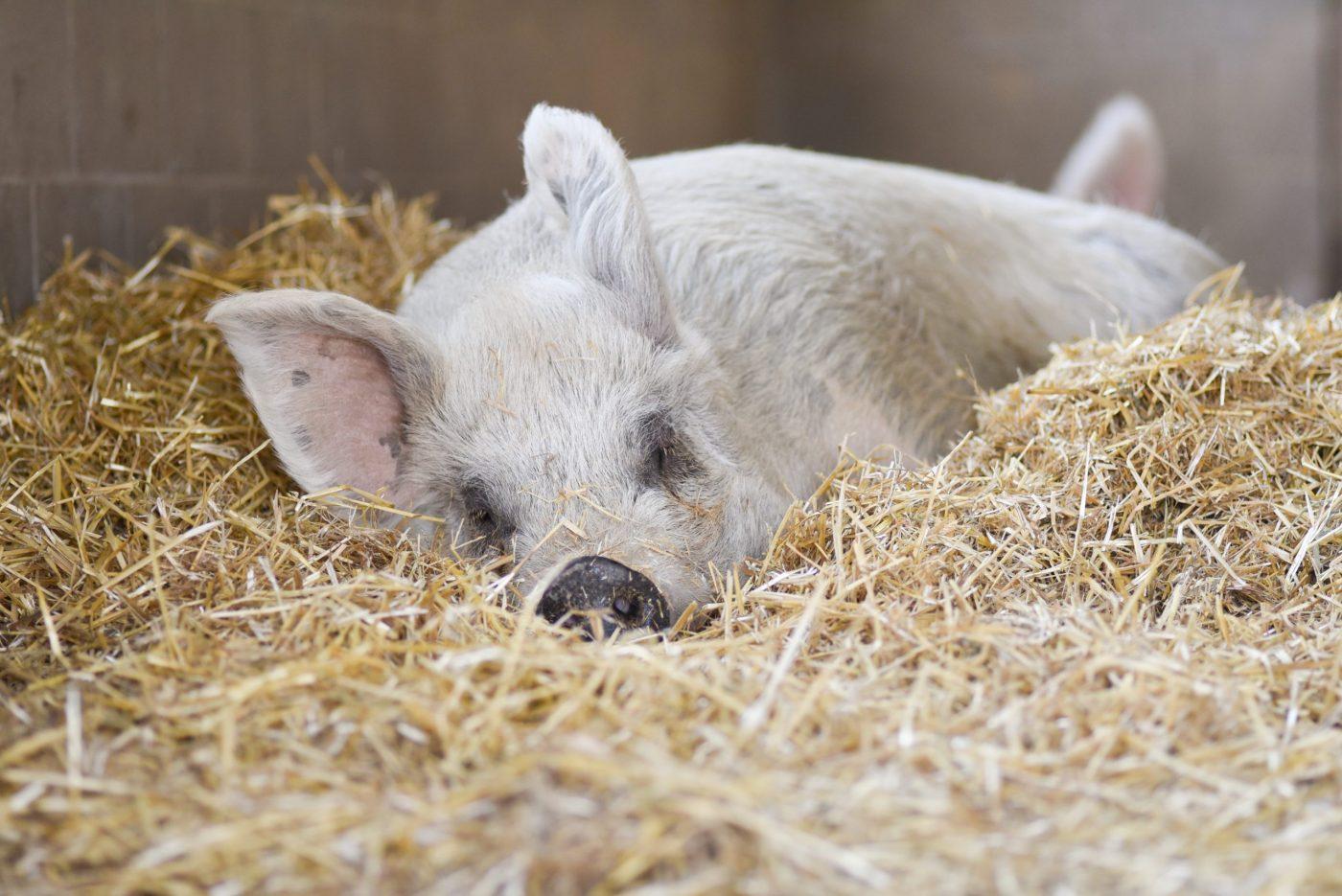 Maggie pig at Farm Sanctuary