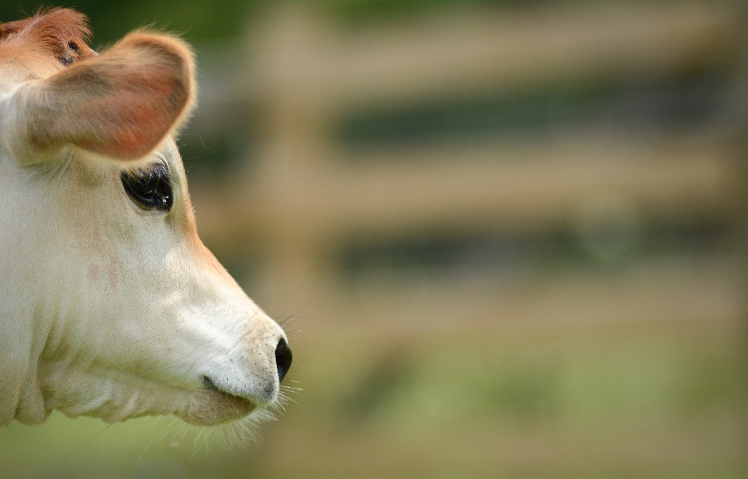 Milton cow at Farm Sanctuary