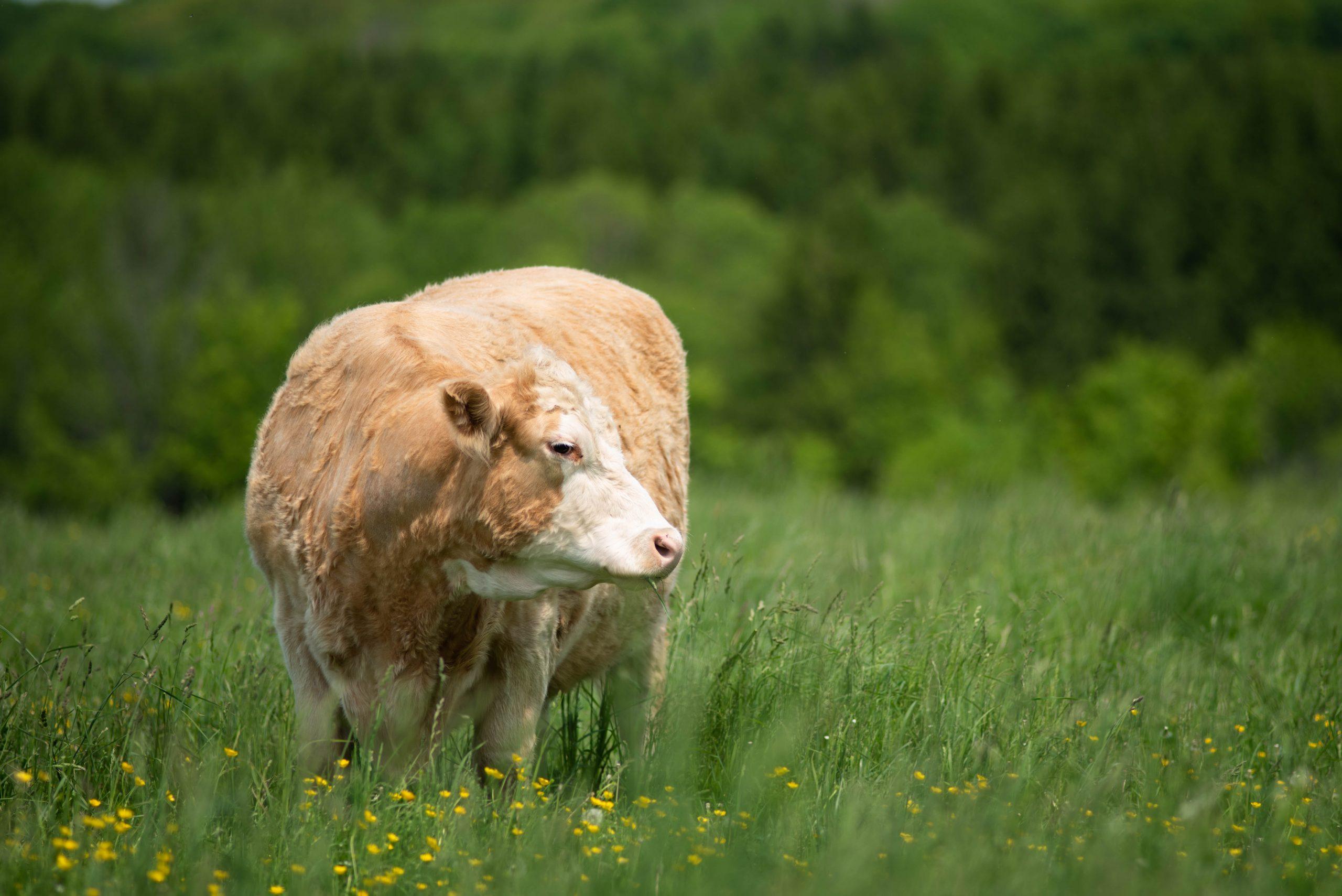 Gidget cow at Farm Sanctuary