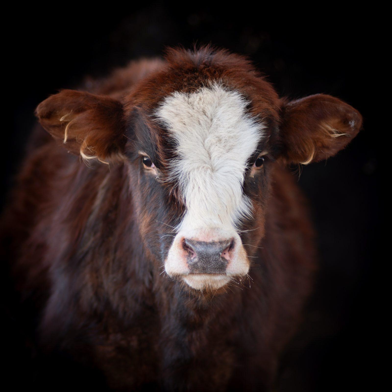 Finn calf at Farm Sanctuary