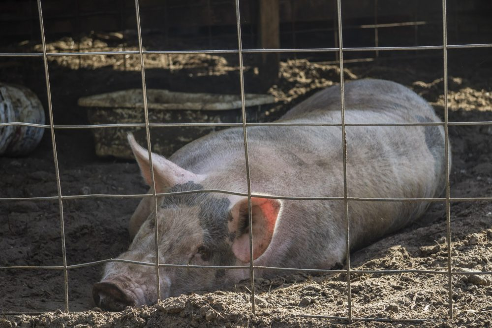 Pig lying on the ground behind a cage from the property