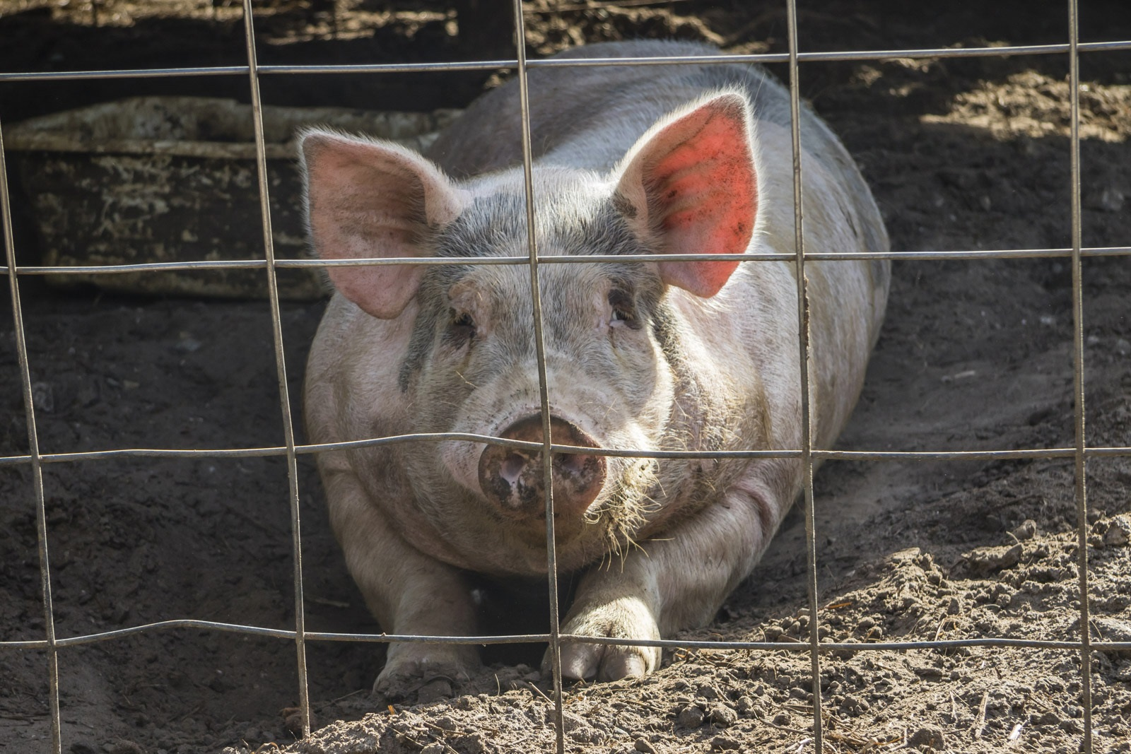 Pig behind a cage on the property