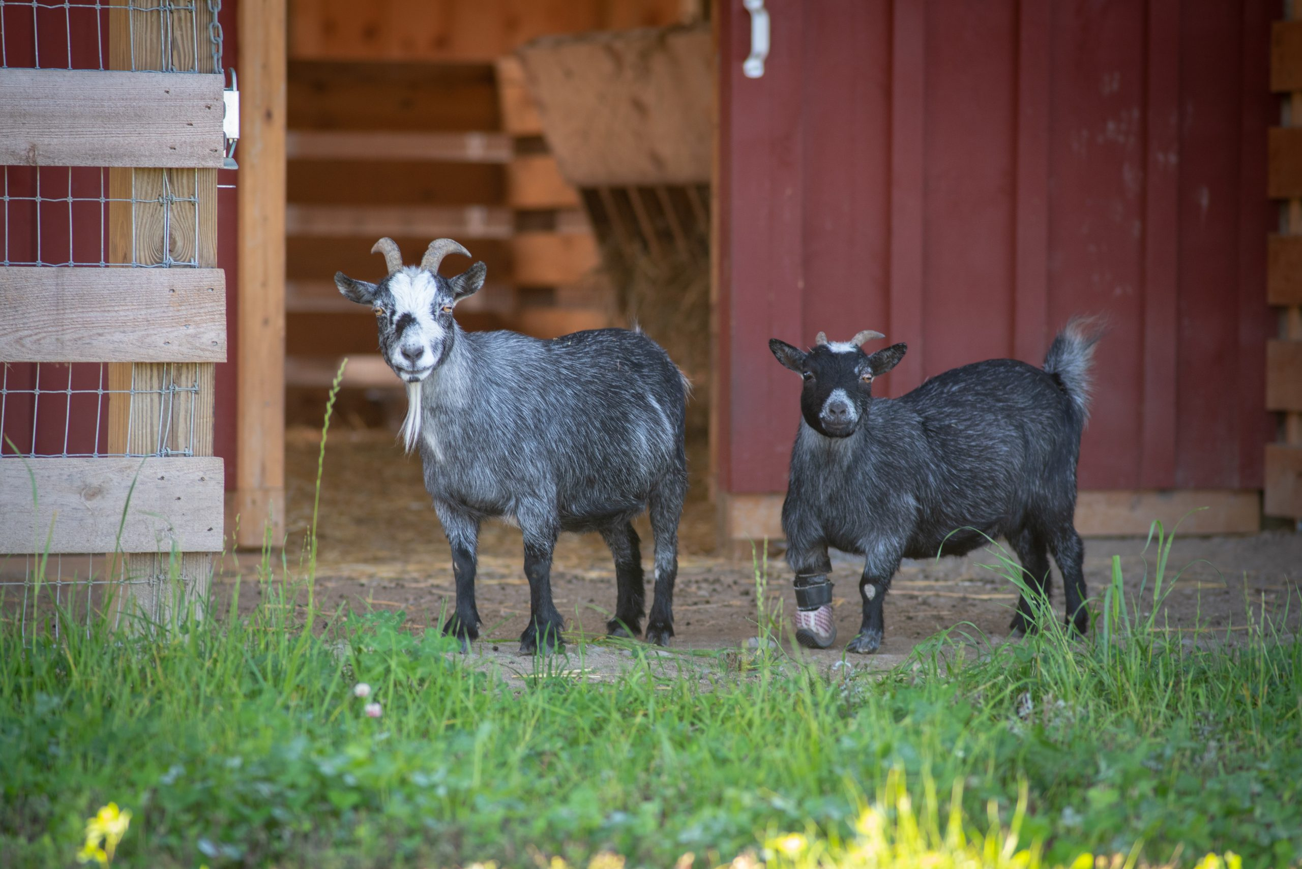 Josie-Mae and Willow Goats at Farm Sanctuary's New York shelter