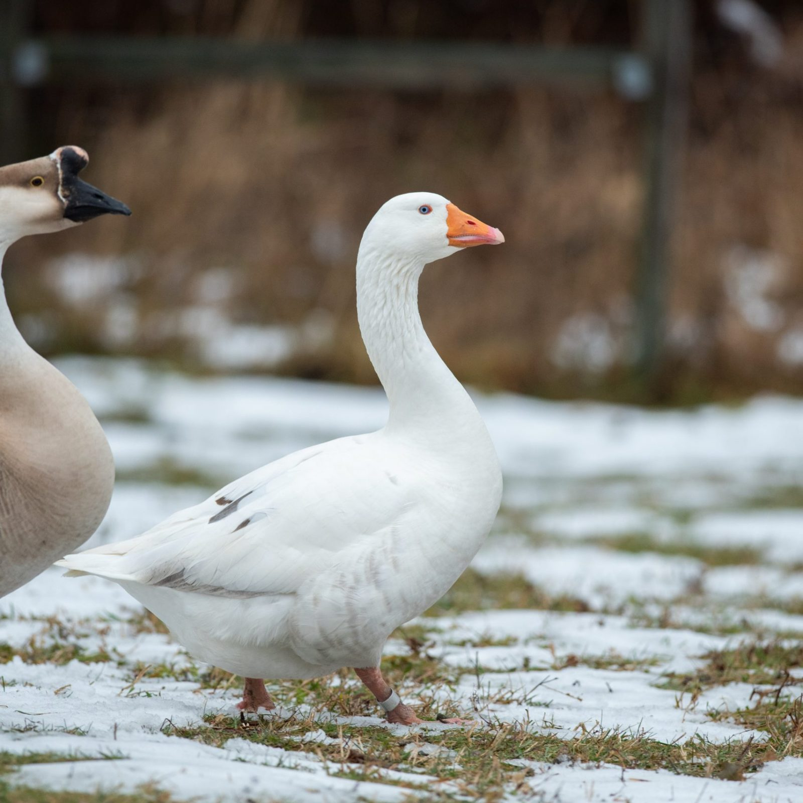 Mother Goose at Farm Sanctuary's New York shelter