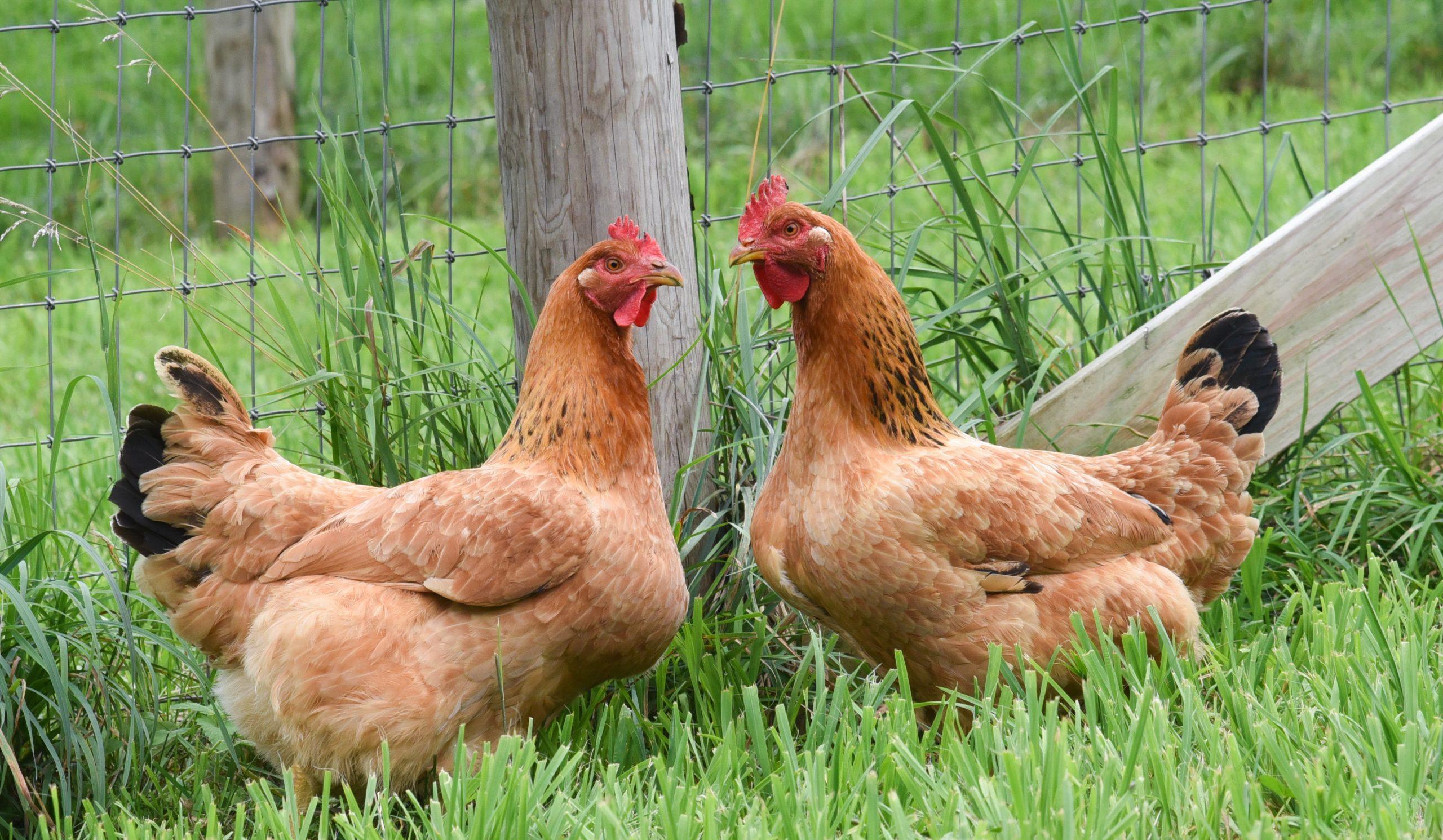 Georgia Hardstark and Karen Kilgariff hens at Farm Sanctuary's New York shelter