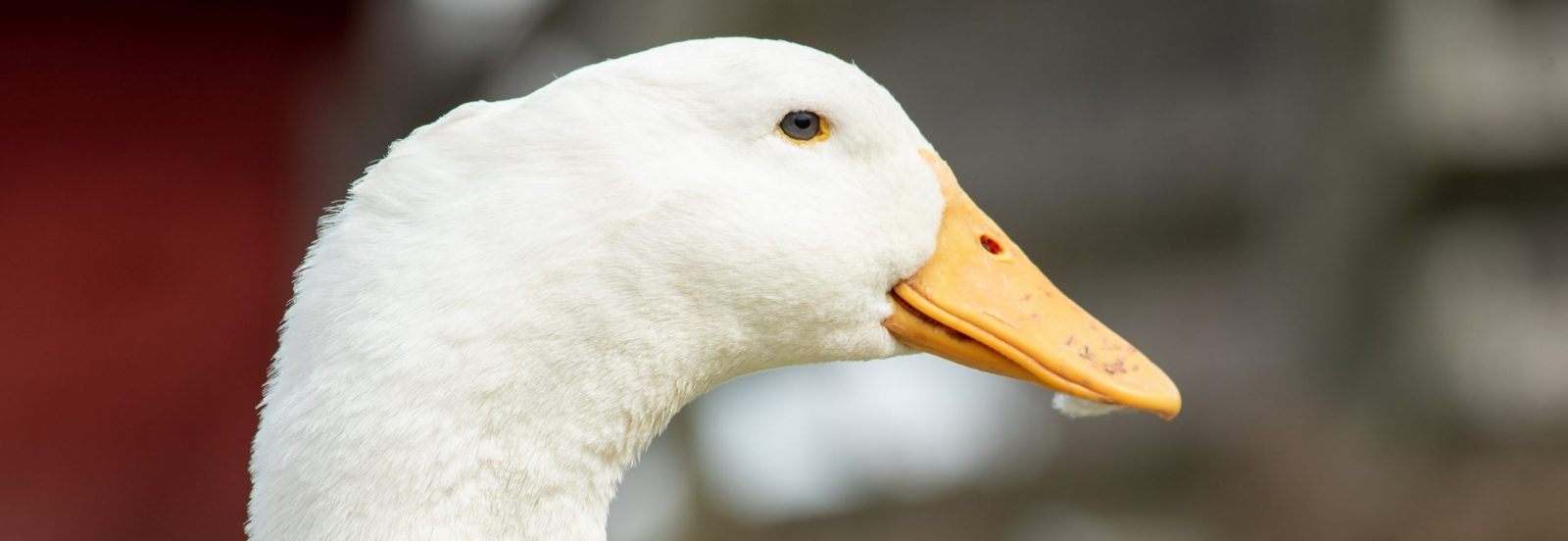 Ditto Duck at Farm Sanctuary's New York shelter