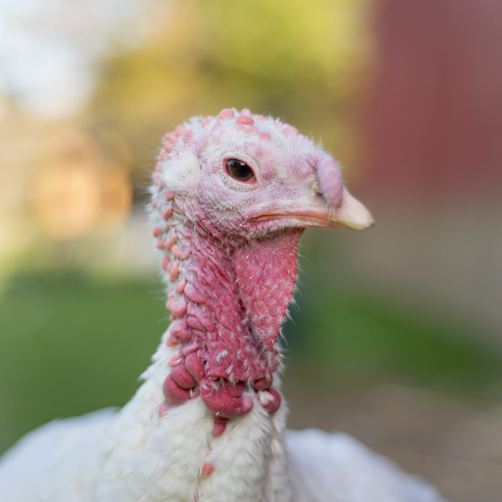 Cecelia Turkey at Farm Sanctuary's New York shelter