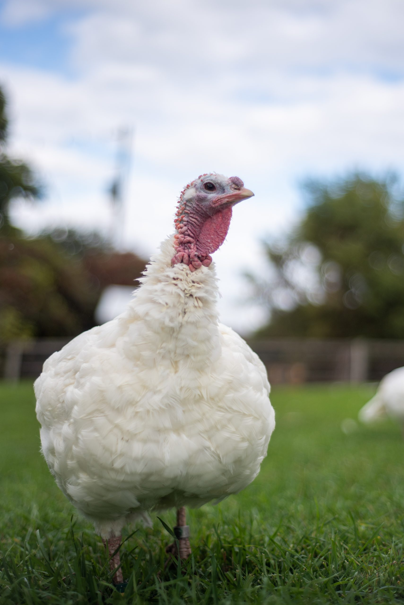 Anna Turkey at Farm Sanctuary's New York shelter