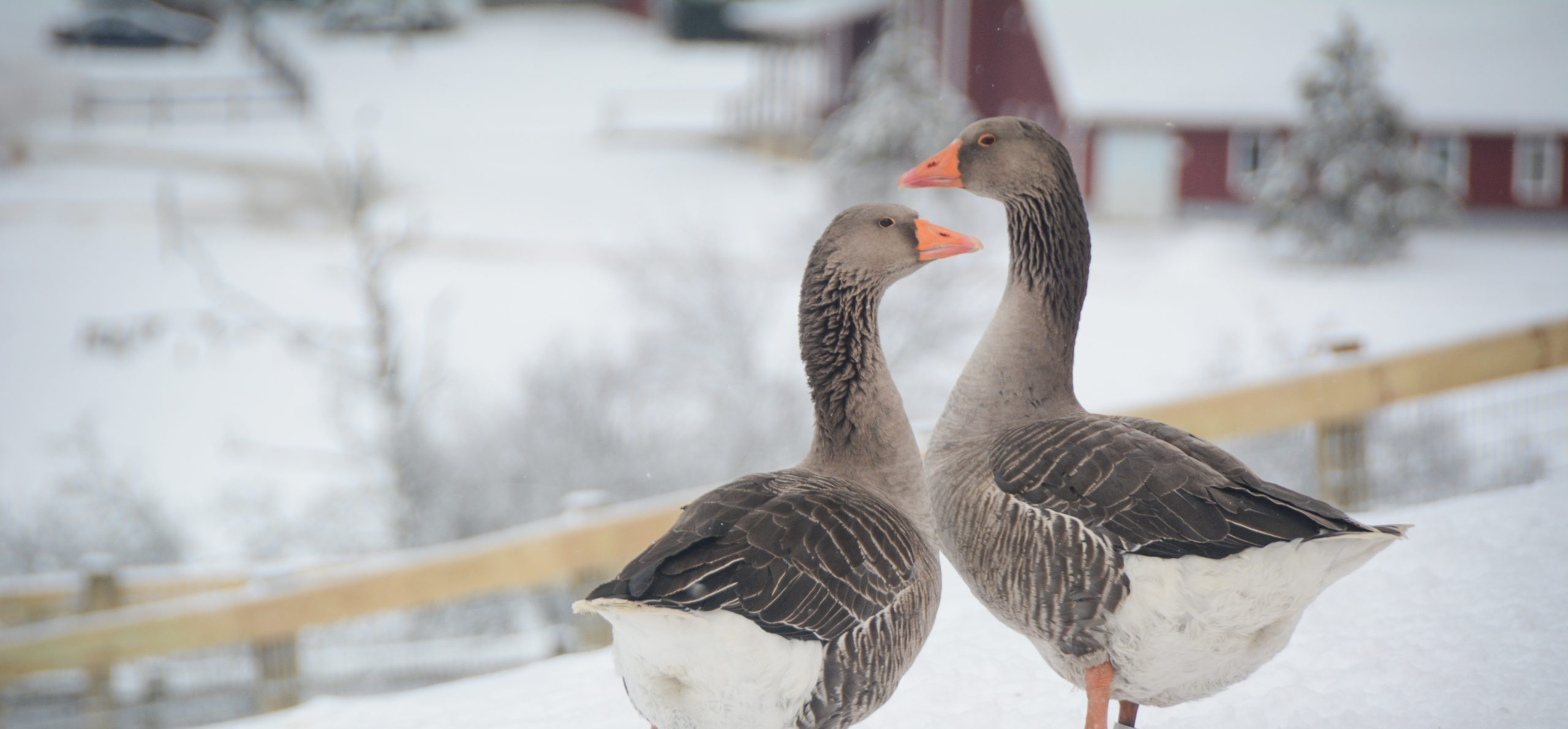 Willie and Reba Geese at Farm Sanctuary's New York shelter