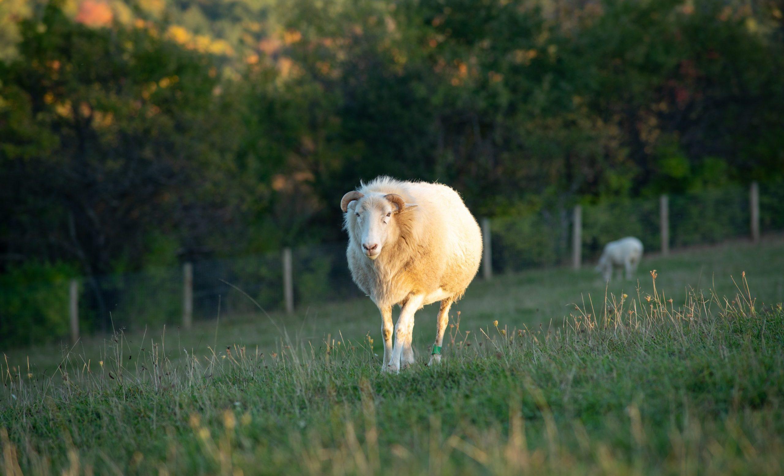 Ash Sheep at Farm Sanctuary's New York shelter