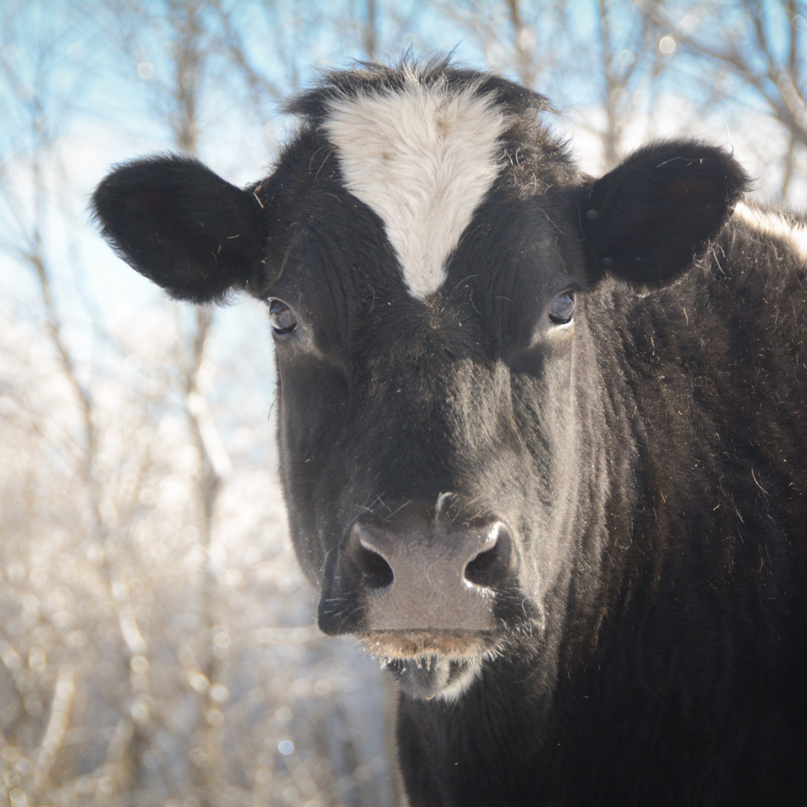 Diane Cow at Farm Sanctuary's New York shelter
