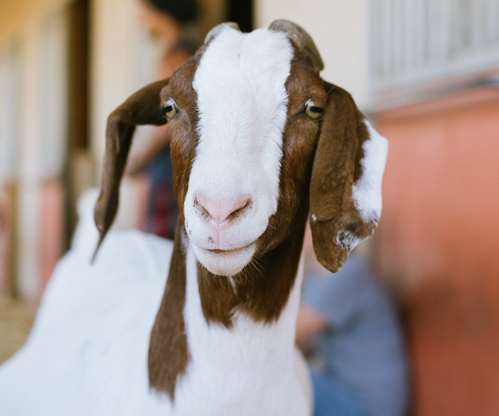 Erika Goat at Farm Sanctuary's Southern California shelter