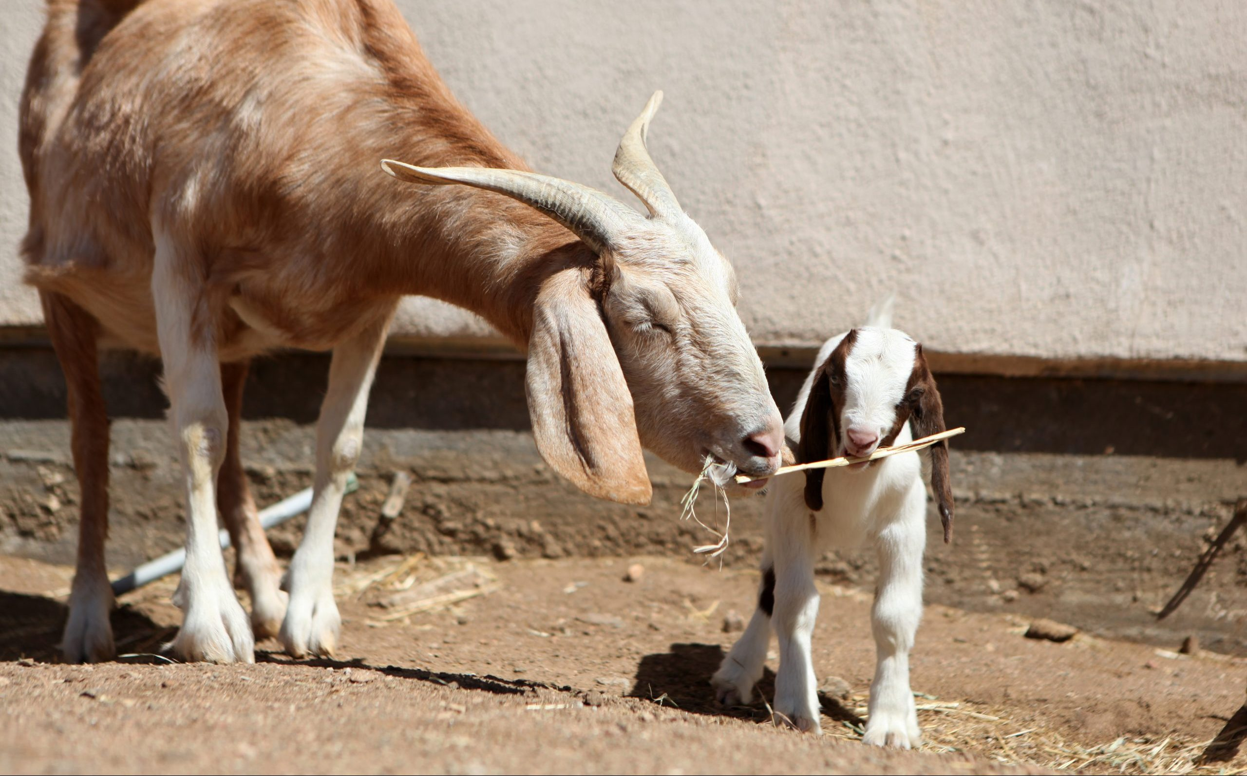 Claire and Erika goats at Farm Sanctuary's Southern California shelter