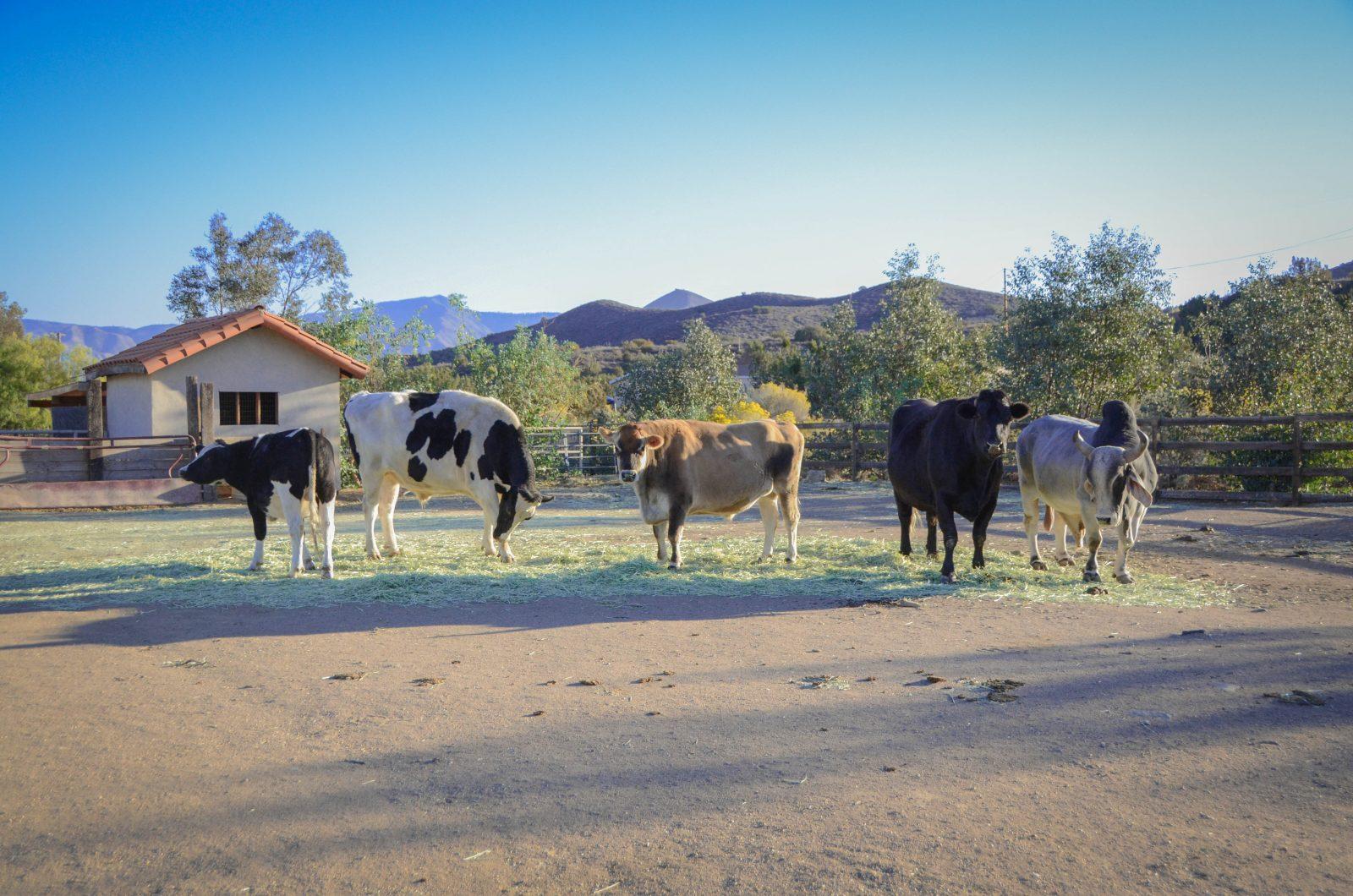 Cows outside Farm Sanctuary