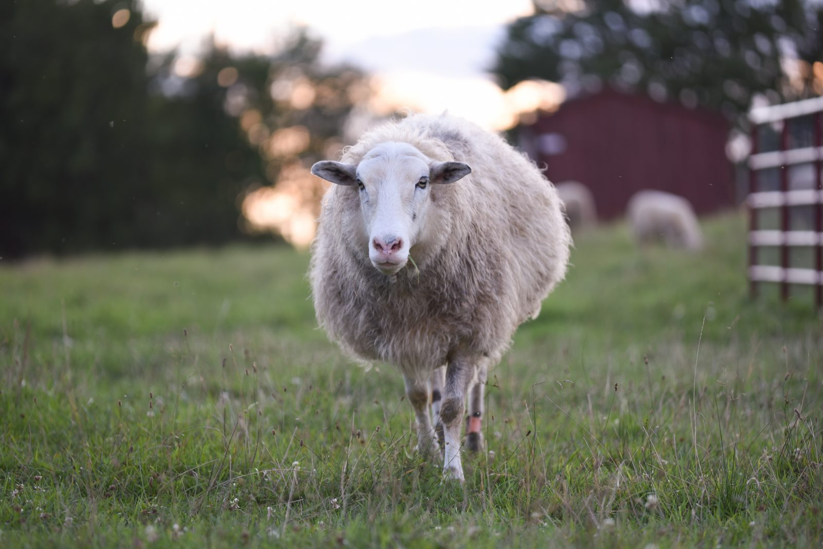 Adriano sheep at Farm Sanctuary