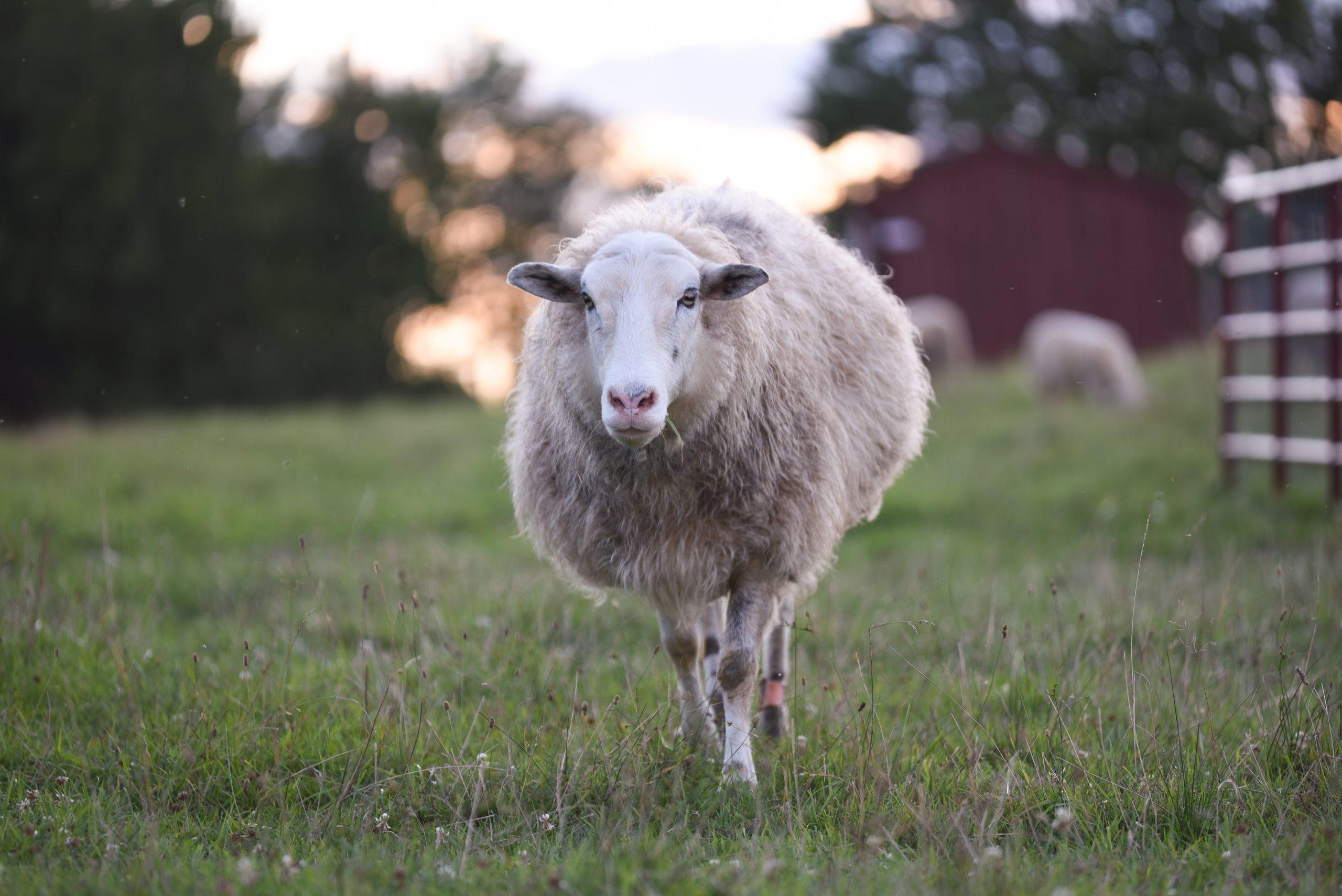 Adriano sheep at Farm Sanctuary
