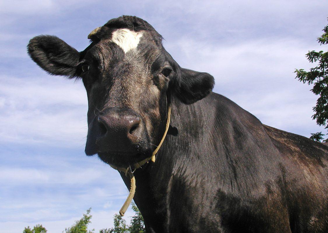 Maya Cow at Farm Sanctuary
