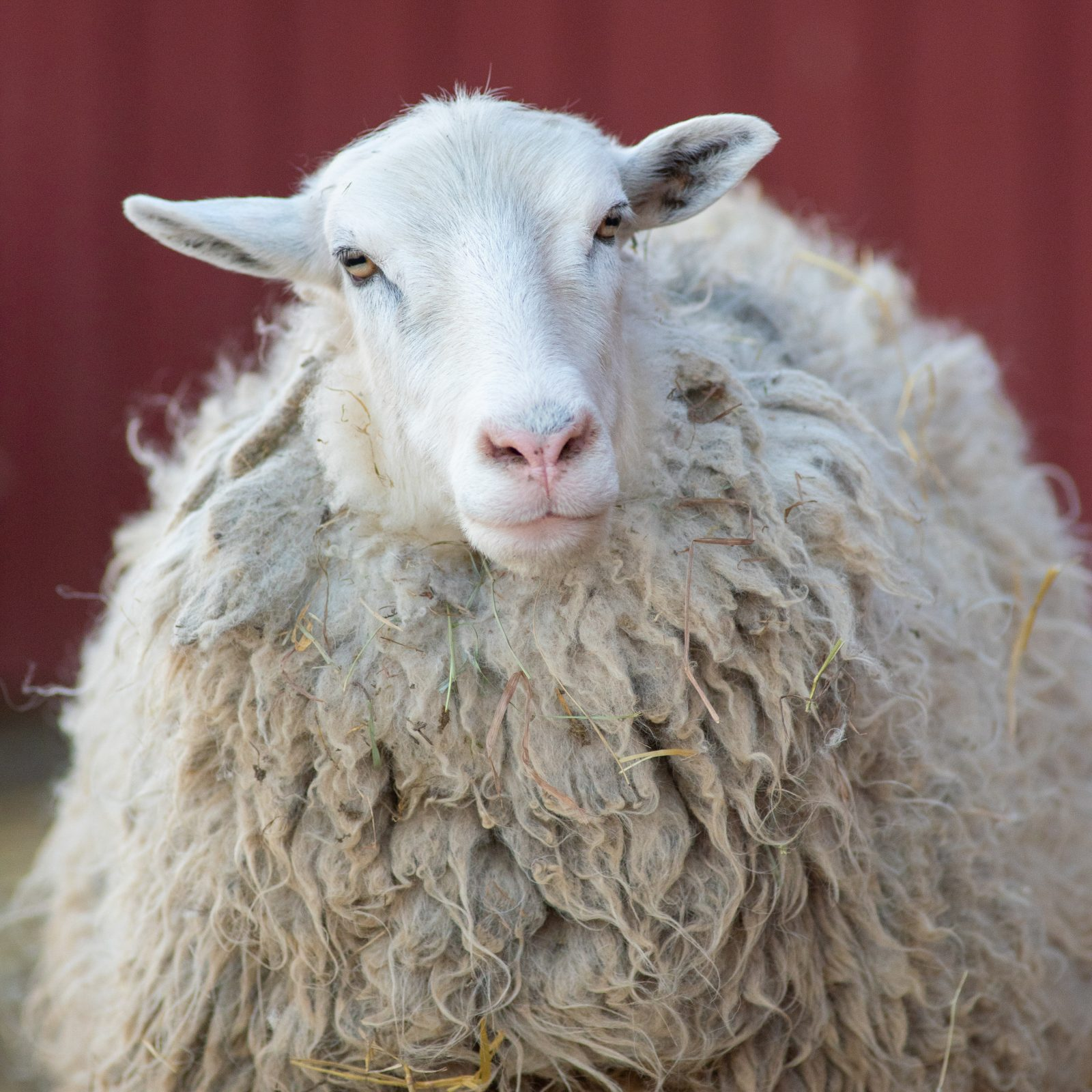 Ash sheep at Farm Sanctuary