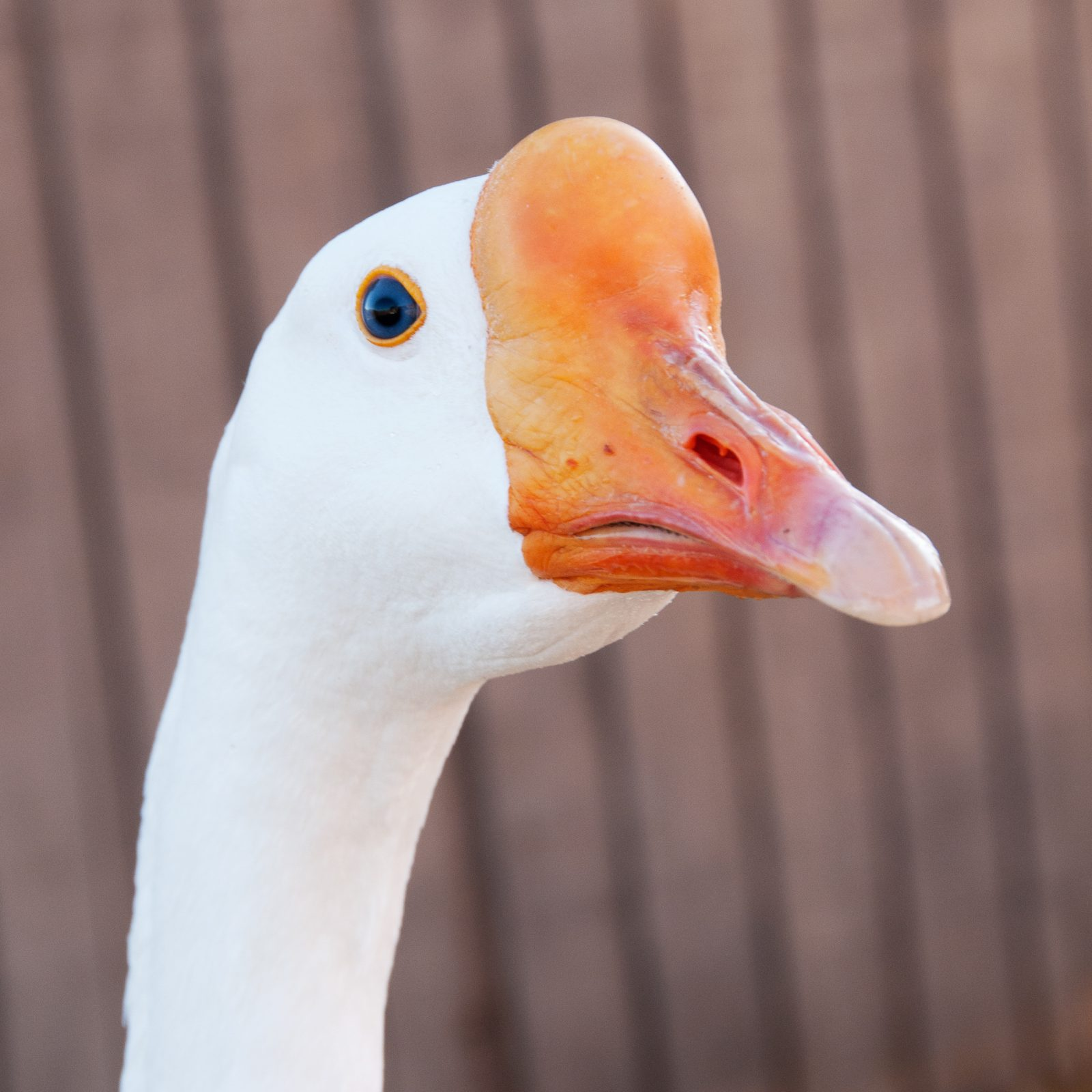 Thatcher goose at Farm Sanctuary