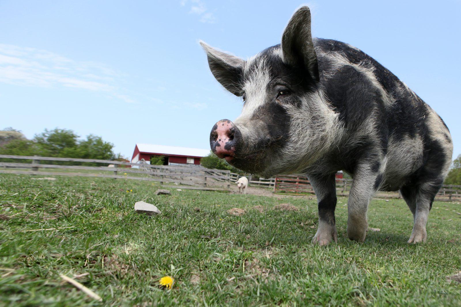 Fiona pig at Farm Sanctuary